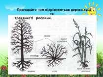 Пригадайте чим відрізняються дерева,кущі та травянисті рослини.