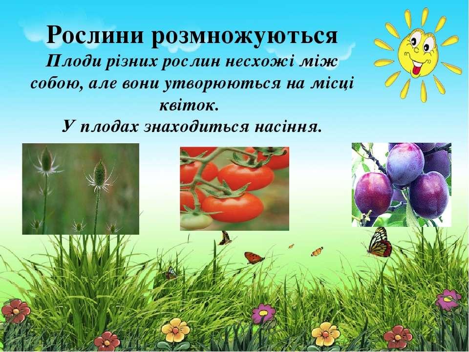 Рослини розмножуються Плоди різних рослин несхожі між собою, але вони утворюю...