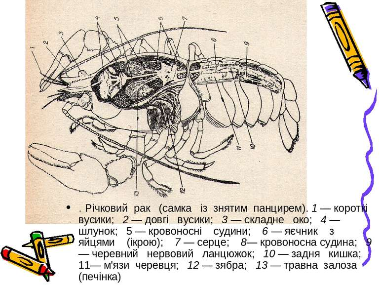 . Річковий рак (самка із знятим панцирем). 1 — короткі вусики; 2 — довгі вуси...