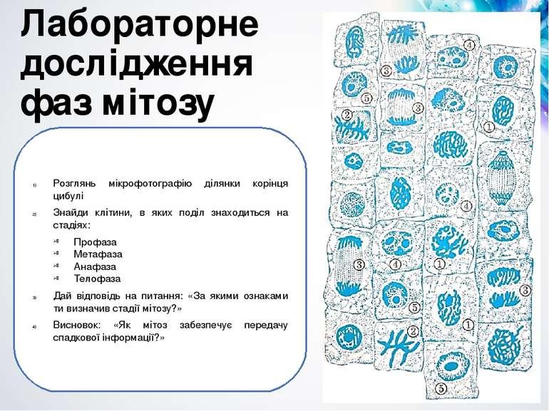 Лабораторне дослідження фаз мітозу Розглянь мікрофотографію ділянки корінця ц...