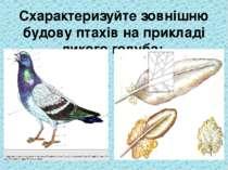 Схарактеризуйте зовнішню будову птахів на прикладі дикого голуба:
