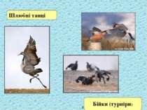 Шлюбні танці Источник: http://www.fotonovosti.ru Бійки (турніри)