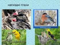 нагніздні птахи