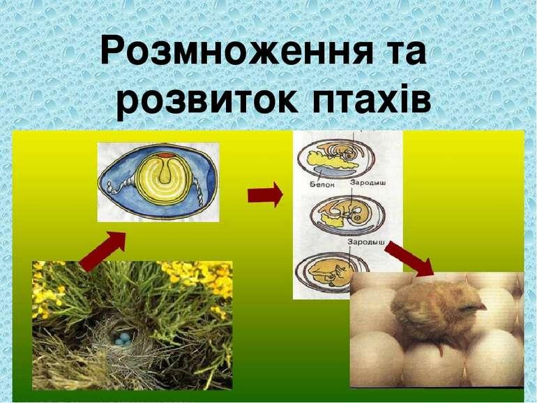 Розмноження та розвиток птахів