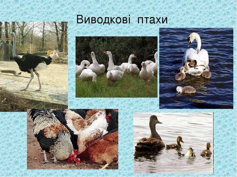 Виводкові птахи