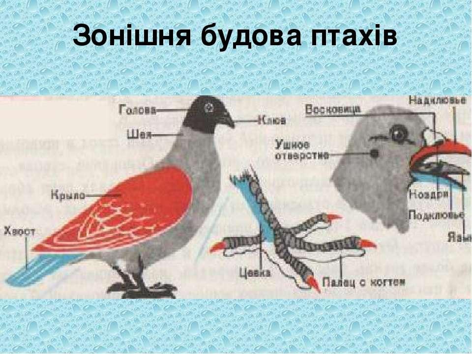 Зонішня будова птахів