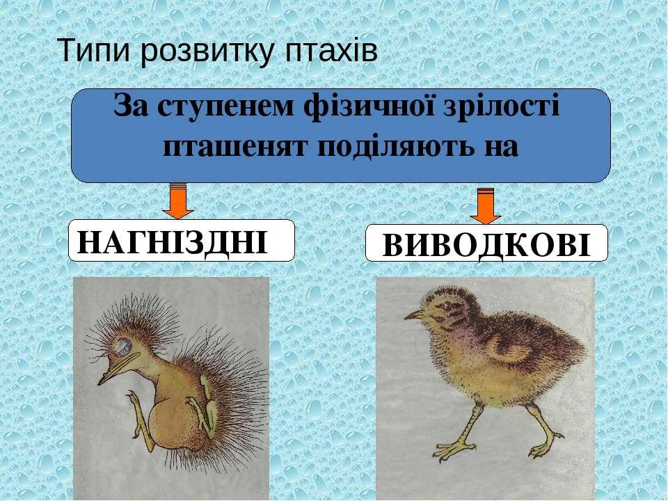 Типи розвитку птахів За ступенем фізичної зрілості пташенят поділяють на НАГН...