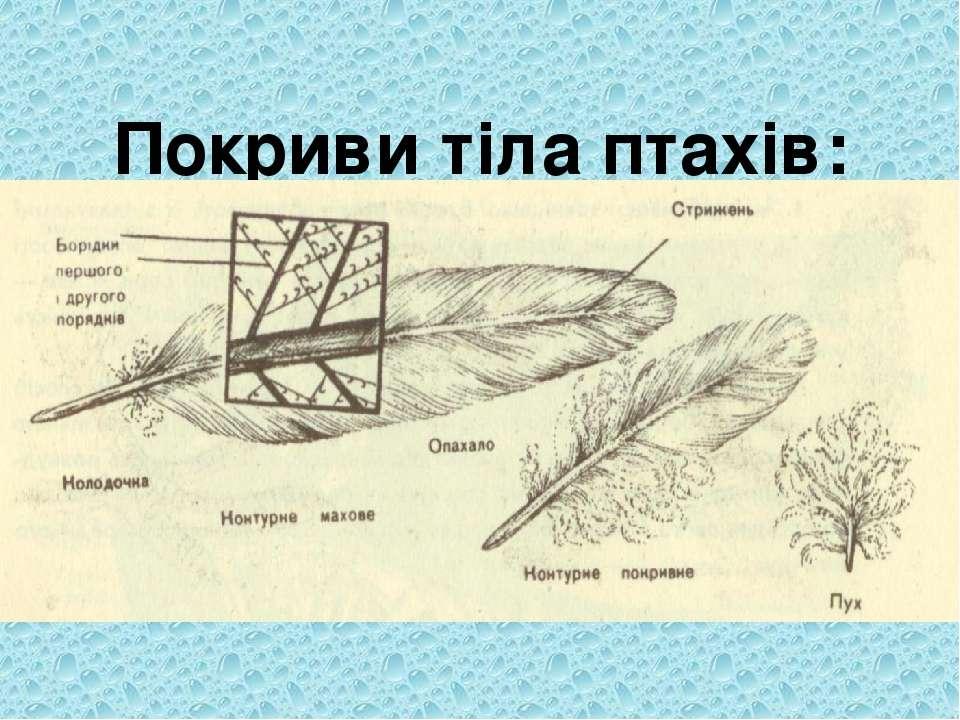 Покриви тіла птахів: шкіра, пір'я Різноманітність та будова пер: