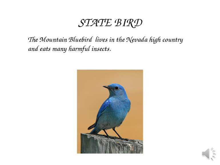 The Mountain Bluebird lives in the Nevada high country and eats many harmful ...