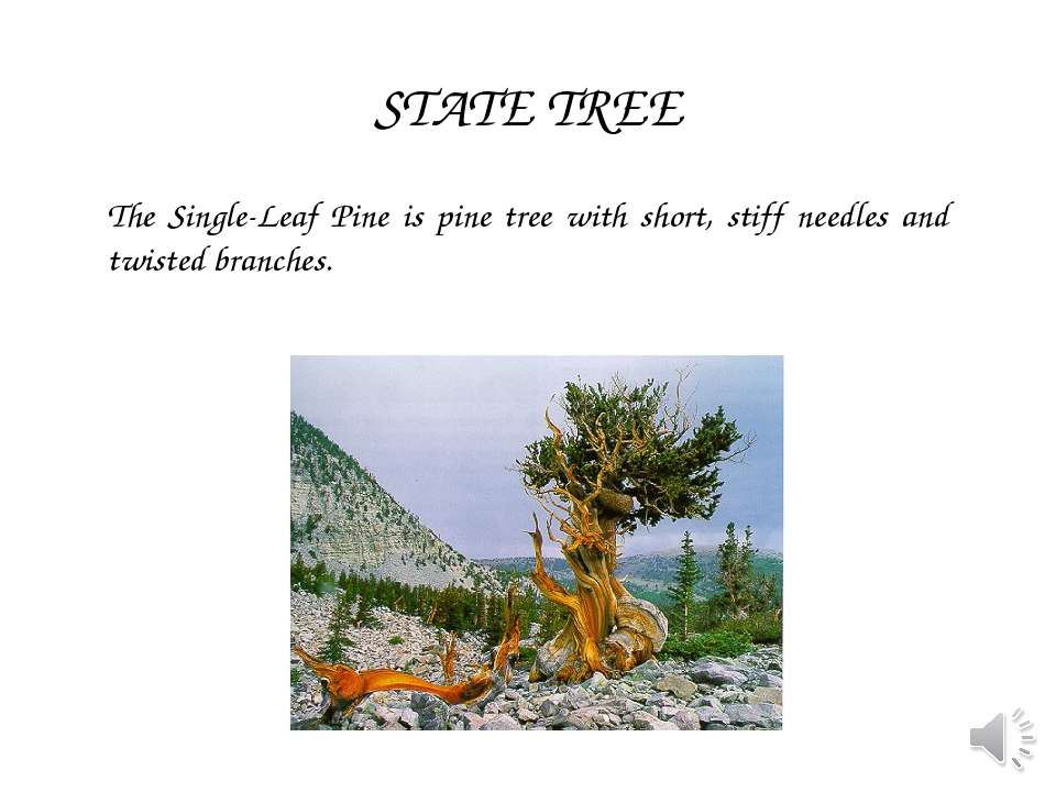 The Single-Leaf Pine is pine tree with short, stiff needles and twisted branc...
