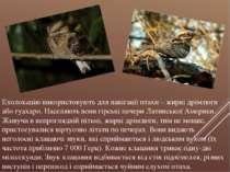 Ехолокацію використовують для навігації птахи – жирні дрімлюги або гуахаро. Н...