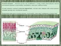 Основна тканина — тканина рослин, що складається з живих клітин різної форми,...