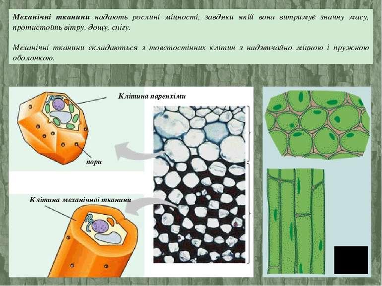Механічні тканини надають рослині міцності, завдяки якій вона витримує значну...