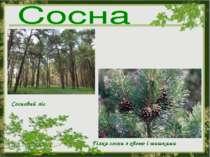 Сосновий ліс Гілка сосни з хвоєю і шишками