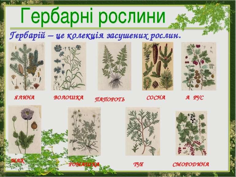 Гербарій – це колекція засушених рослин. ЯЛИНА ВОЛОШКА АҐРУС МАК ПАПОРОТЬ СОС...