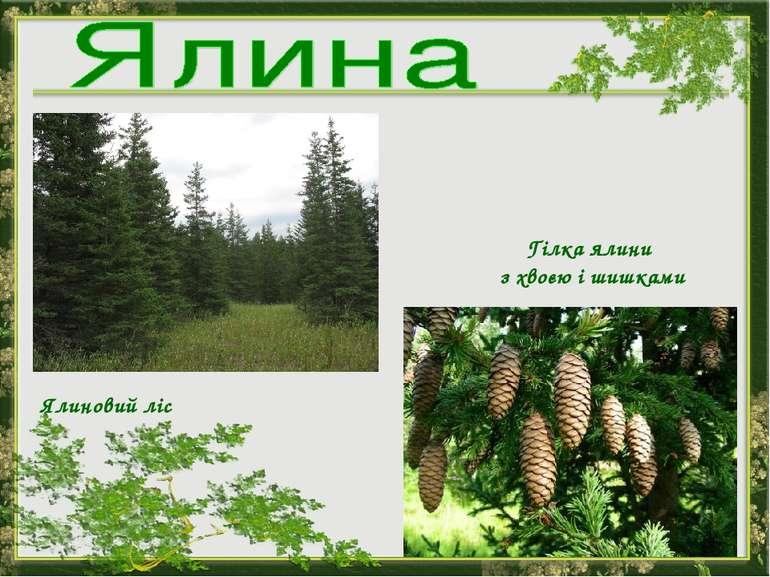 Ялиновий ліс Гілка ялини з хвоєю і шишками