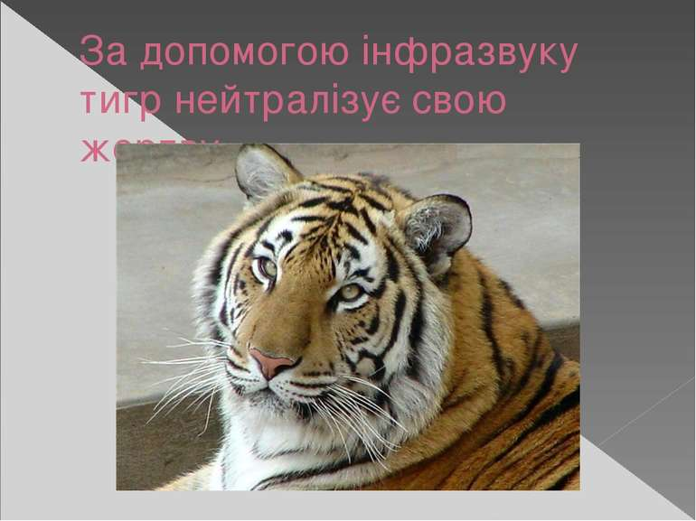 За допомогою інфразвуку тигр нейтралізує свою жертву