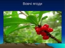 Вовчі ягоди