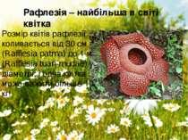 Розмір квітів рафлезії коливається від 30 см (Rafflesia patma) до 1 м (Raffle...
