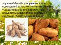 Кореневі бульбиутворюються при відкладанні запасних поживних речовин удодат...