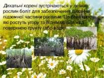 Дихальні коренізустрічаються удеяких рослин боліт для забезпечення дихання ...