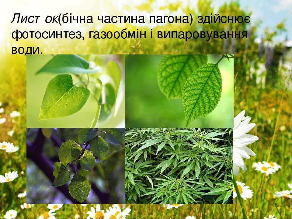 Листок(бічна частина пагона) здійснює фотосинтез, газообмін івипаровування в...