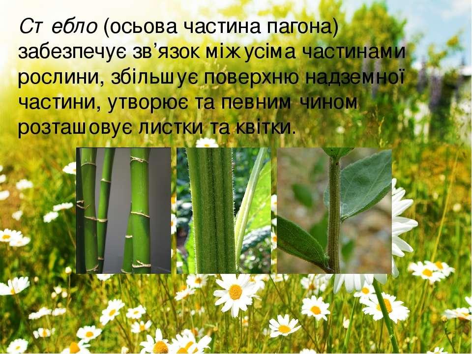 Стебло(осьова частина пагона) забезпечує зв'язок між усіма частинами рослини...
