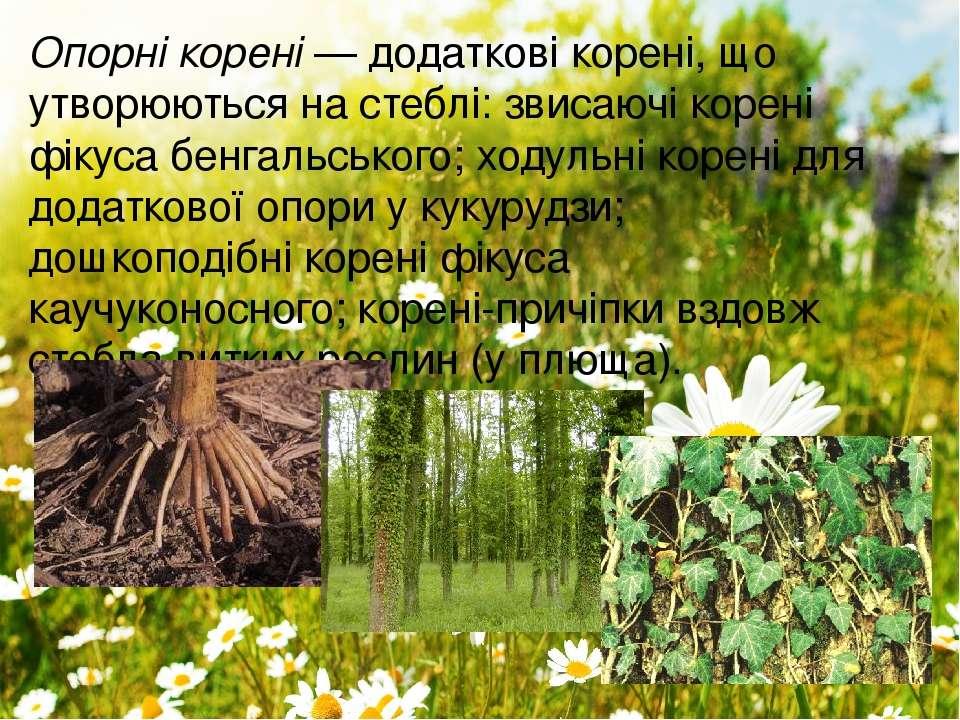 Опорні корені—додаткові корені, що утворюються на стеблі: звисаючі корені ф...