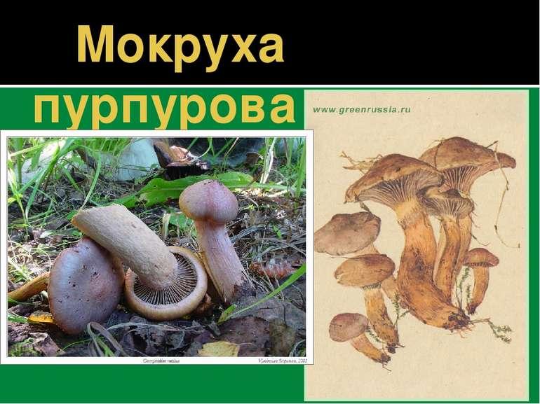 Мокруха пурпурова