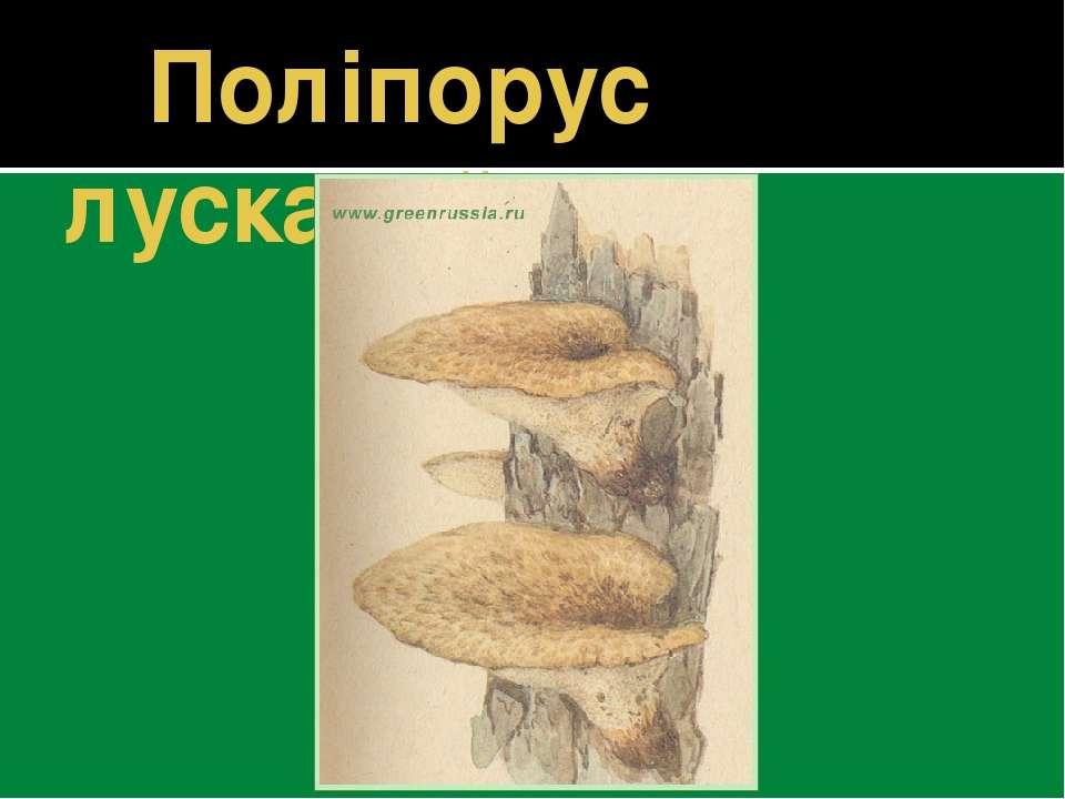 Поліпорус лускатий