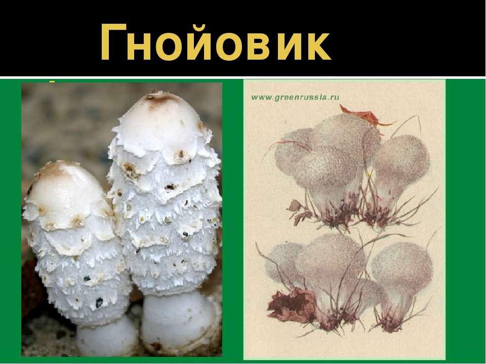 Гнойовик білий