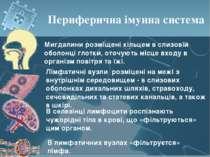 Периферична імунна система Мигдалини розміщені кільцем в слизовій оболонці гл...