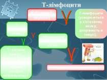 Т-лімфоцити Т-лимфоцити (утворюються в кістковому мозку, дозрівають в тимусі)...