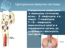 Утворюються лімфоцити: в червоному кістковому мозку - В -лімфоцити, а в тимус...
