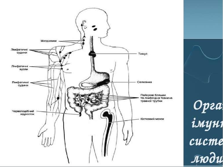 Органи імунної системи людини