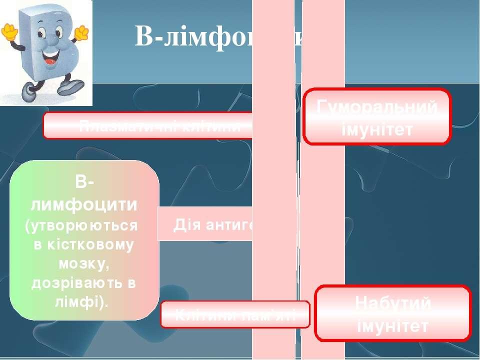 В-лімфоцити В-лимфоцити (утворюються в кістковому мозку, дозрівають в лімфі)....
