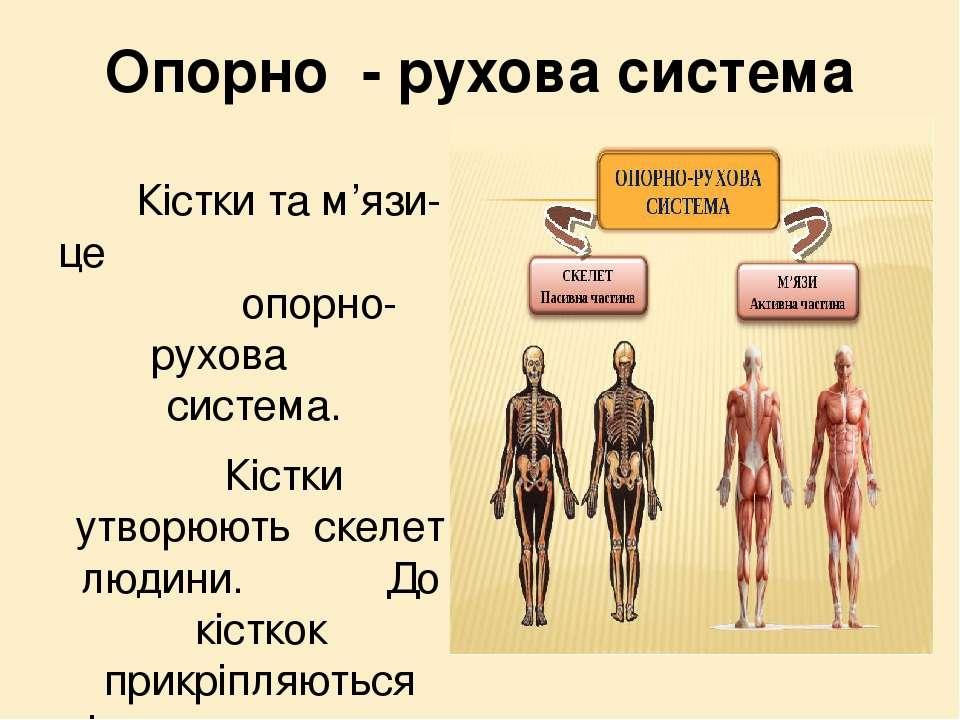 Опорно - рухова система Кістки та м'язи-це опорно- рухова система. Кістки утв...