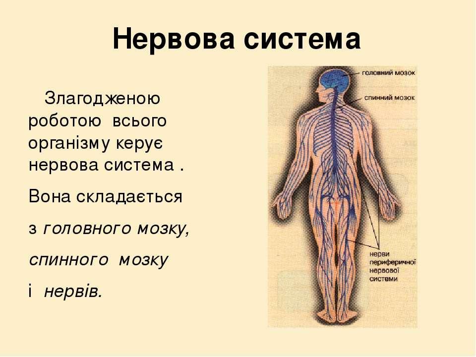 Нервова система Злагодженою роботою всього організму керує нервова система . ...
