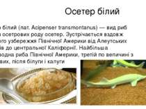 Осетер білий Осетер білий (лат. Acipenser transmontanus) — вид риб родини осе...