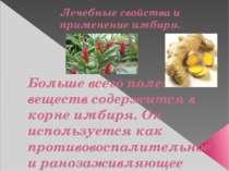 Лечебные свойства и применение имбиря. Больше всего полезных веществ содержит...