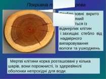 Стебло зовні вкрито корком, який складається із відмерлих клітин і захищає ст...