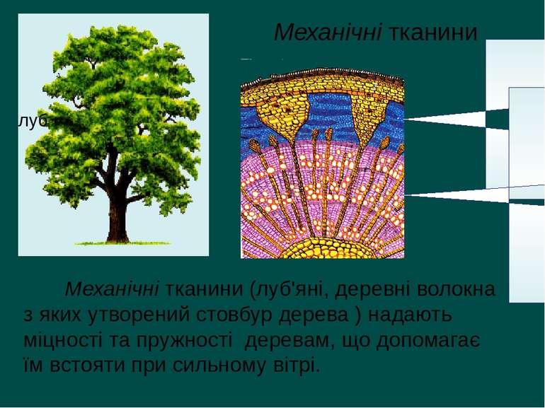 Механічні тканини (луб'яні, деревні волокна з яких утворений стовбур дерева )...