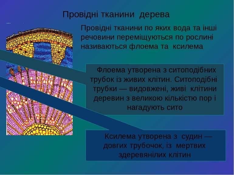 Провідні тканини дерева Провідні тканини по яких вода та інші речовини перемі...