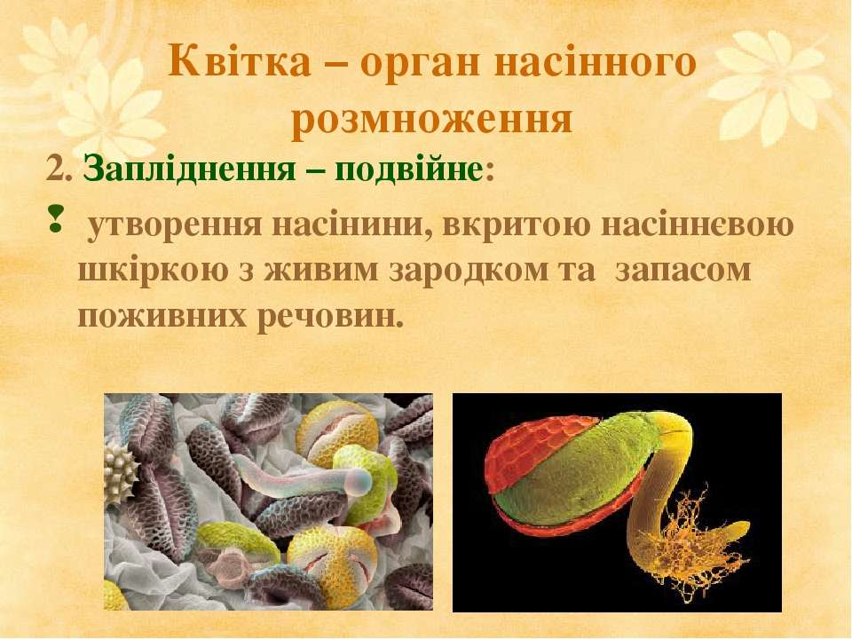 Квітка – орган насінного розмноження 2. Запліднення – подвійне: утворення нас...