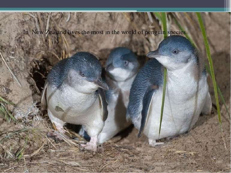 In New Zealand lives the most in the world of penguin species.
