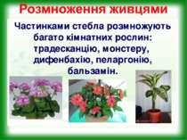 Частинками стебла розмножують багато кімнатних рослин: традесканцію, монстеру...
