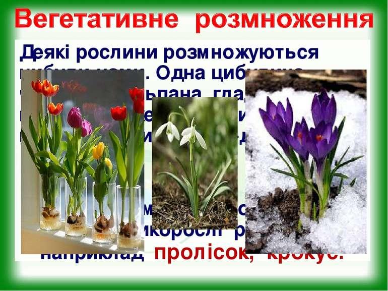 Деякі рослини розмножуються цибули-нами. Одна цибулина часнику, тюльпана, гла...