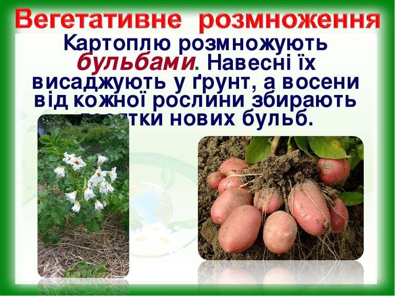 Картоплю розмножують бульбами. Навесні їх висаджують у ґрунт, а восени від ко...