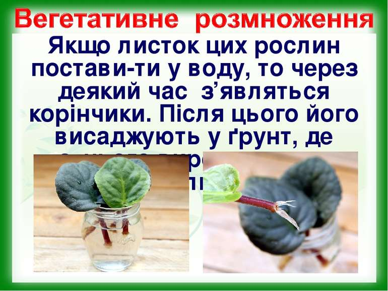 Якщо листок цих рослин постави-ти у воду, то через деякий час з'являться корі...