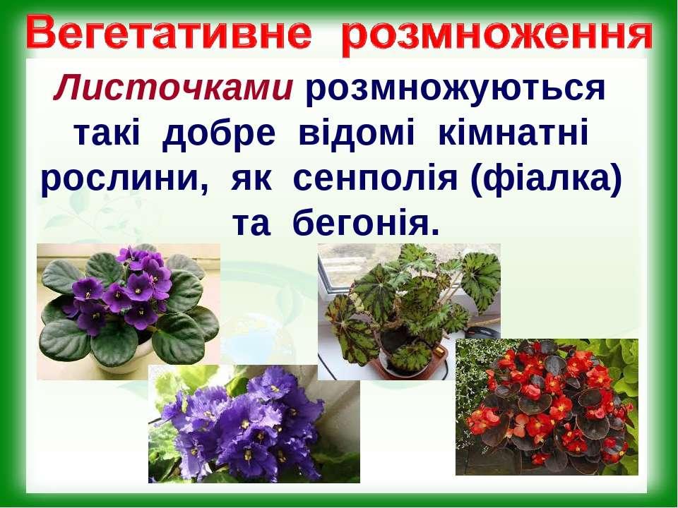 Листочками розмножуються такі добре відомі кімнатні рослини, як сенполія (фіа...